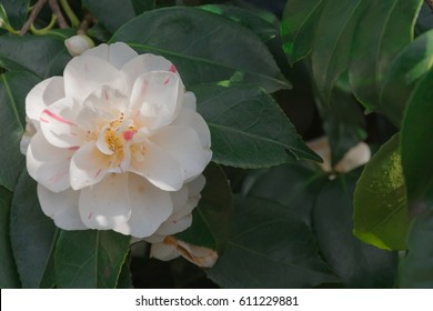 White Camellia flower blooming in the morning sunlight.  Blooming flower of Camellia perfectly represents the spring and summer seasons, healthy tea or oil extract industry, etc.