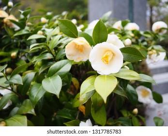 White camellia flower in garden, Japan