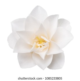 White Camellia Flower  Isolated on White Background