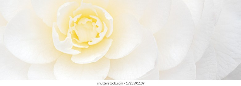 White Camellia flowers, close up banner. Full bloom camellia blossom, detail