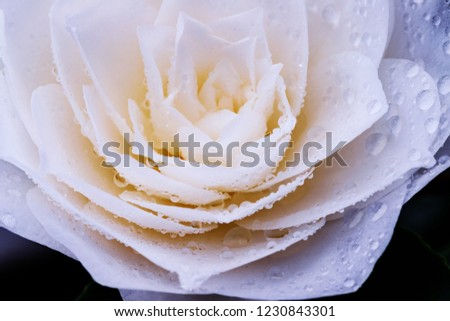 White Camellia Japonica Flower Water Drops Stock Photo Edit Now