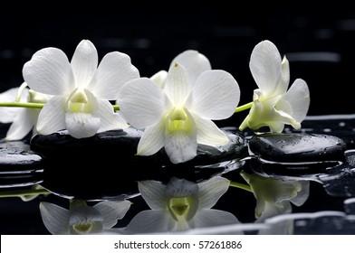 White camellia on black stones