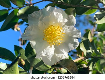 White camilla blooming against blue sky
