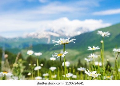 White camomile flowers on green meadow on hill on blurred background of snowy mountains in clear sunny summer day. Georgian wild nature, Svaneti region