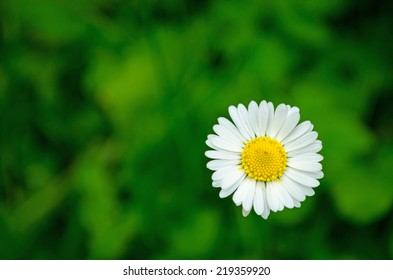 White camomiles on agreen  background