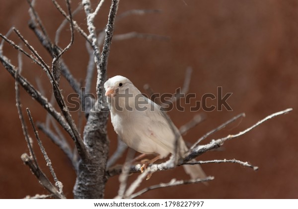 A white canary on a branch