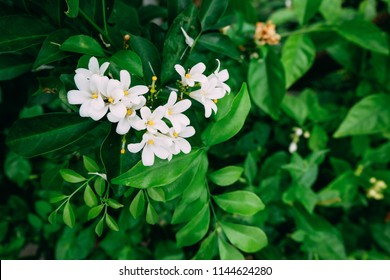 White cape Jasmine flowers (Jasminum Polyanthum) in the park or garden. Tropical green leaves nature background. Group of white Sampaguita Jasmine or Arabian Jasmine.