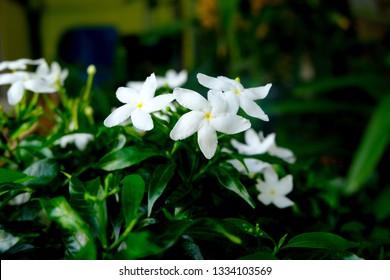 White cape Jasmine flowers (Jasminum Polyanthum) in the park or garden. Tropical green leaves nature background. Group of white Sampaguita Jasmine or Arabian Jasmine.