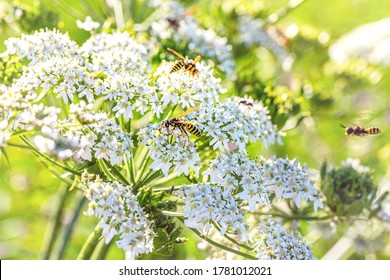 White caraway flower. Wasps on White flowering plant, Caraway or meridian fennel or Persian cumin or Carum carvi. Nature background with Wasps on white caraway flowers, closeup macro