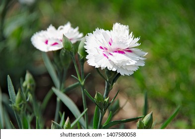 White carnations with pink stripes growing in the garden during the summer
