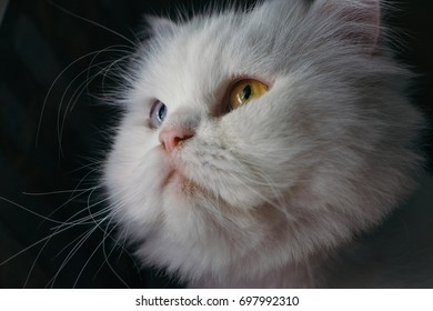 white cat with beautiful eyes