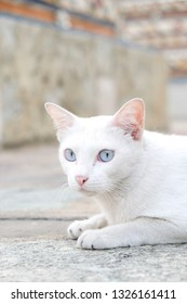 The white cat with blue eye sitting on the floor with the blurred pagoda background