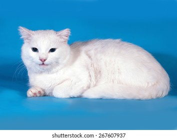 White cat with blue eyes lies on blue background