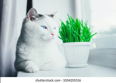 White cat with blue eyes lying on the windowsill next to the pot with green grass