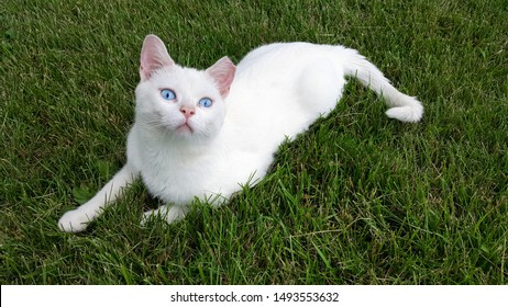 White cat with Blue Eyes on Grass