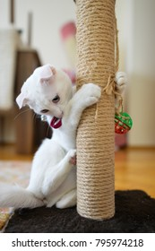 White cat with blue eyes scratching her paws at the scratching post