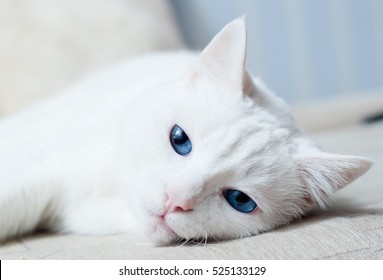White cat with blue eyes trying to sleep