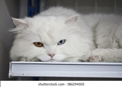 white cat with blue and yellow eye on shelf in shop