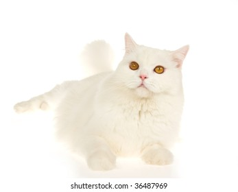 White cat with brown eyes on white background