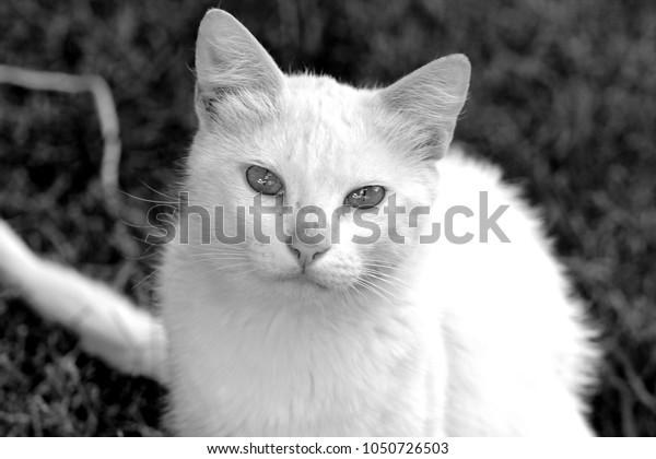 white cat bw