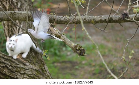 White Cat Chasing Bird, Collored Dove, (Streptopelia decaocto) at the Tree.