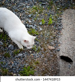 white cat chasing mice outside