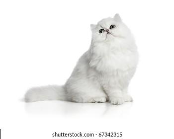 White cat Chinchilla on white background
