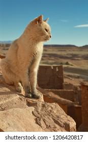 White cat in the desert in Morocco
