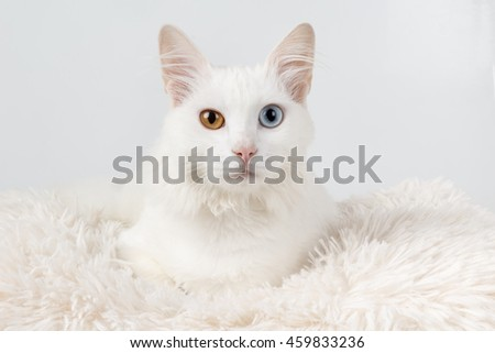 e5537f7572 White Cat Different Colored Eyes White Stock Photo (Edit Now ...