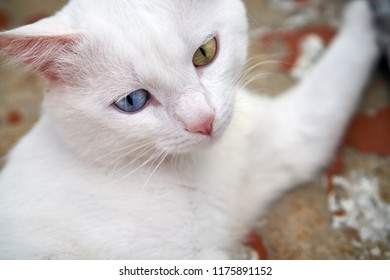 32d7a415e4 White cat with different eyes. Cat with 2 different-colored eyes  (heterocromatic eyes