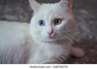 White cat with different eyes. Odd-eyed kitten. Cat with 2 different-colored eyes, heterocromatic eyes — Turkish Angora. It is a cat with heterochromia. Cat looking left, laying on the grey background