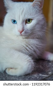 103d24e364 White cat with different eyes. Odd-eyed kitten. Cat with 2 different-