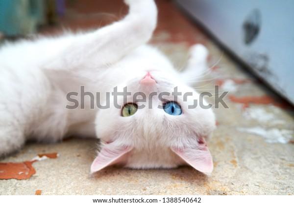 Weiße Katze mit anderen Augen. Kätzchen mit ungeräugtem Blick. Katze mit 2 verschiedenen Augen, heterokromatische Augen — Türkisches Angora. Es ist eine Katze mit Heterochromie. Katze, die gerade aussieht, auf grauem Hintergrund