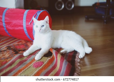 White cat with different eyes on the carpet