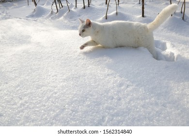 A white cat goes in white snow