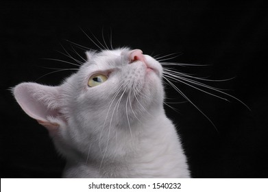 A white cat with golden eyes looks up to watch something off camera.