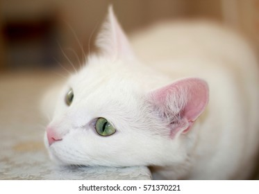 White cat with green eyes.