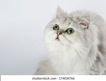 White cat with green eyes looking up, portrait on a light background.