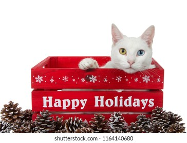 White cat with heterochromia, odd eyed, laying in red wood holiday box looking directly at viewer, one paw over side of box. Happy Holidays text on side of box surrounded by snow frosted pine cones.