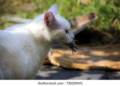 white cat holding a mouse in the teeth