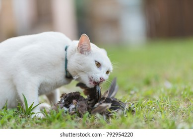 White cat hunter bird and eating on the field