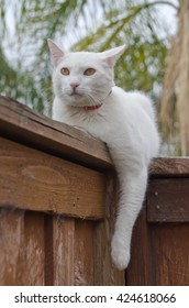 White cat laying on wooden fence ready to hunt
