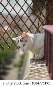 White Cat Looking From Balcony