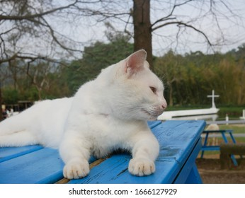 White cat lying on the table.