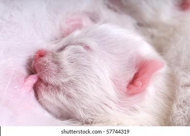 White cat nursing newborn kitten.