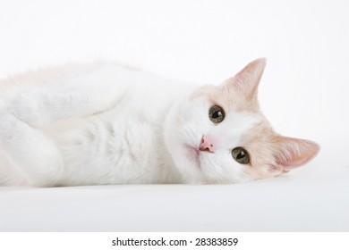white cat on white background