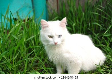 White cat on a background of green grass.