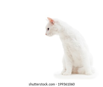 white cat on a white background isolated