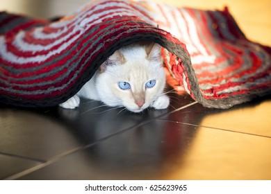 White cat on the floor under carpet