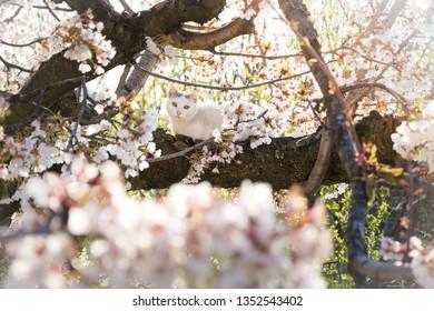white cat on flowering cherry tree